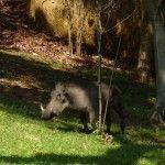 Warthog near hotel