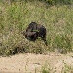 Horned Animal in Kruger Park