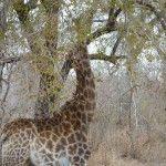 Giraffe eating from the trees