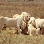 White lions enjoying there lunch